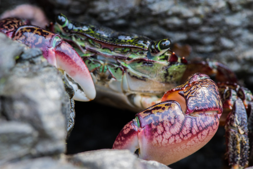 Colorful Crab in Tide Pool