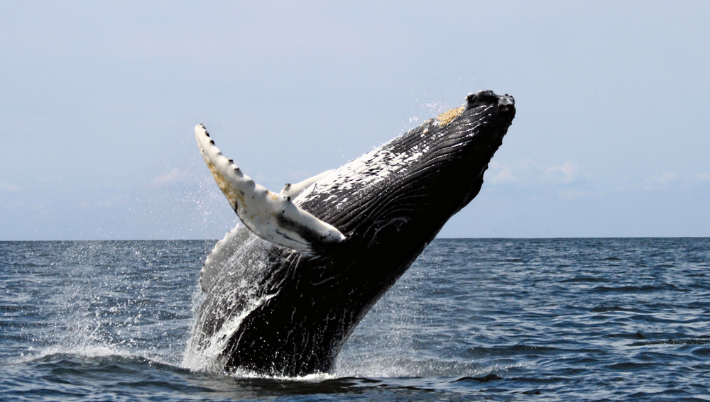 Whale, breaching, Stellwagen Bank National Marine Sanctuary, August 20, 2007. Credit: Wikimedia