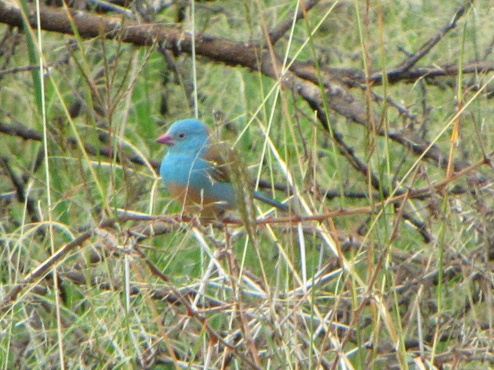 Blue-capped Cordon-bleu (Uraeginthus cyanocephalus) taken in Ngorongoro Park, Tanzania.Credit: D. Gordon E. Robertson