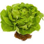 Greenhouse Grown Hydroponic Butter Lettuce, 1 head $2.86