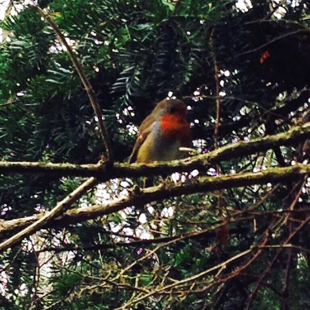 A Tipperary Christmas Robin for you on this magical frosty morn.
