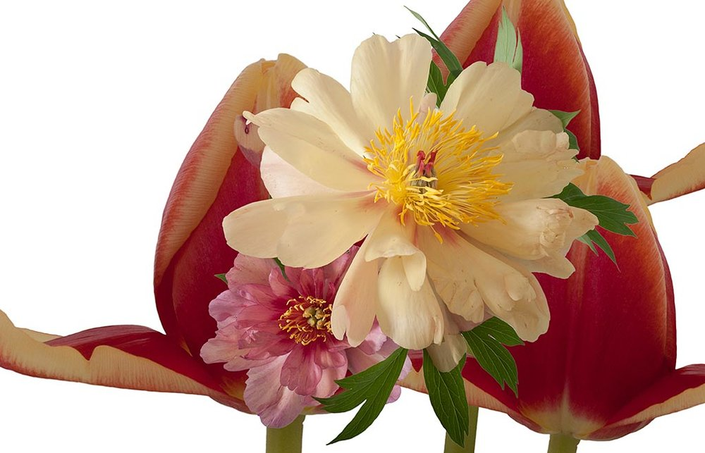 Peonies Meet the Pope