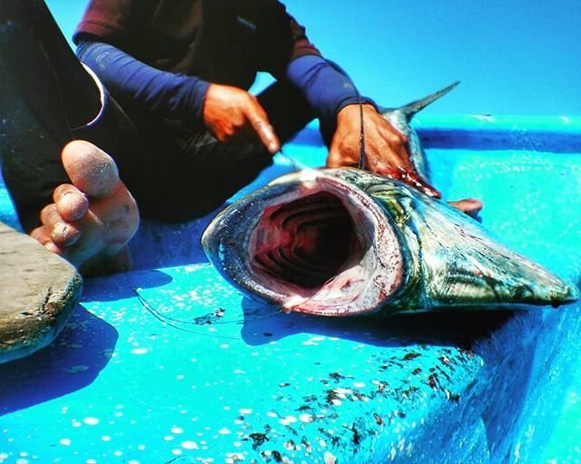 Cleaning up the #catchoftheday after a morning on the FADs. #Dorado or #mahimahi is an extremely fast-growing fish and a very sustainable seafood choice. Offshore fishing can help take pressure off of overfished reefs 🐟 #sustainablefishing #oceanoptimism