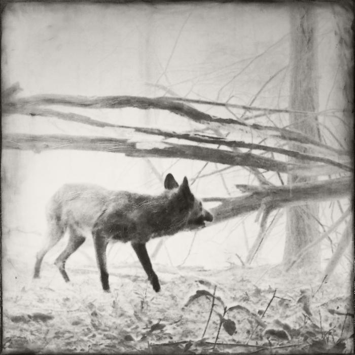 "Jill Skupin Burkholder   -    ""Coyote""     -  $1200            FIRST PRIZE"