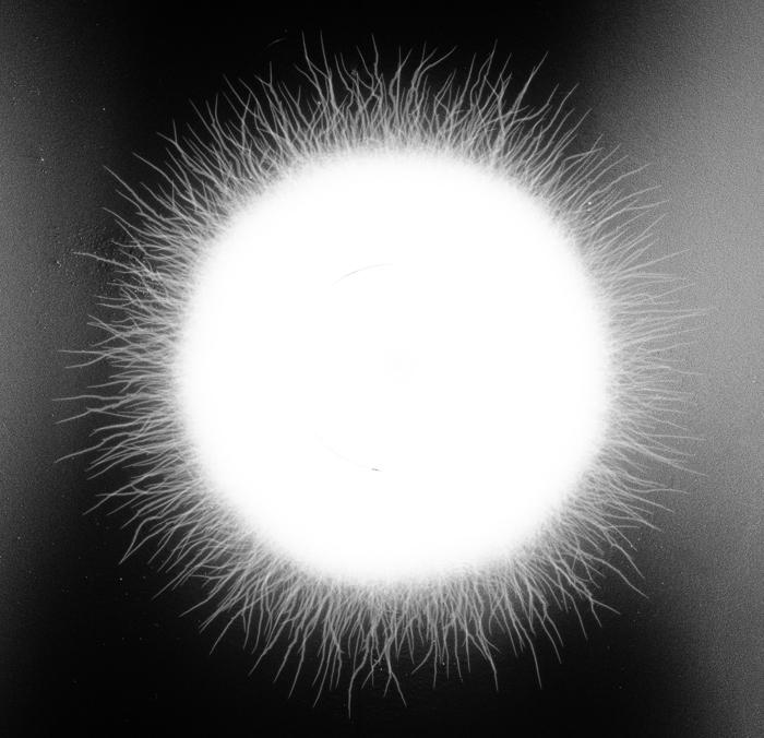 "Karen Bellone -   Flare -   Kirlian Photogram -Toned Archival Pigment Print (21.5"" x 21.5"")  $1275"