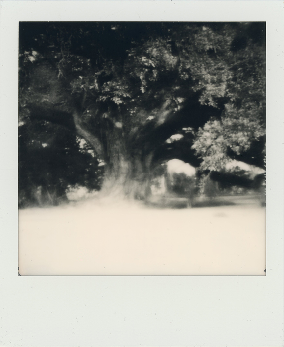 "S. Adam Cook -   Ancient Live Oak -   Polaroid (3"" x 4"")  $500"