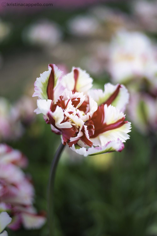 Wicked Tulip Farm, Rhode Island