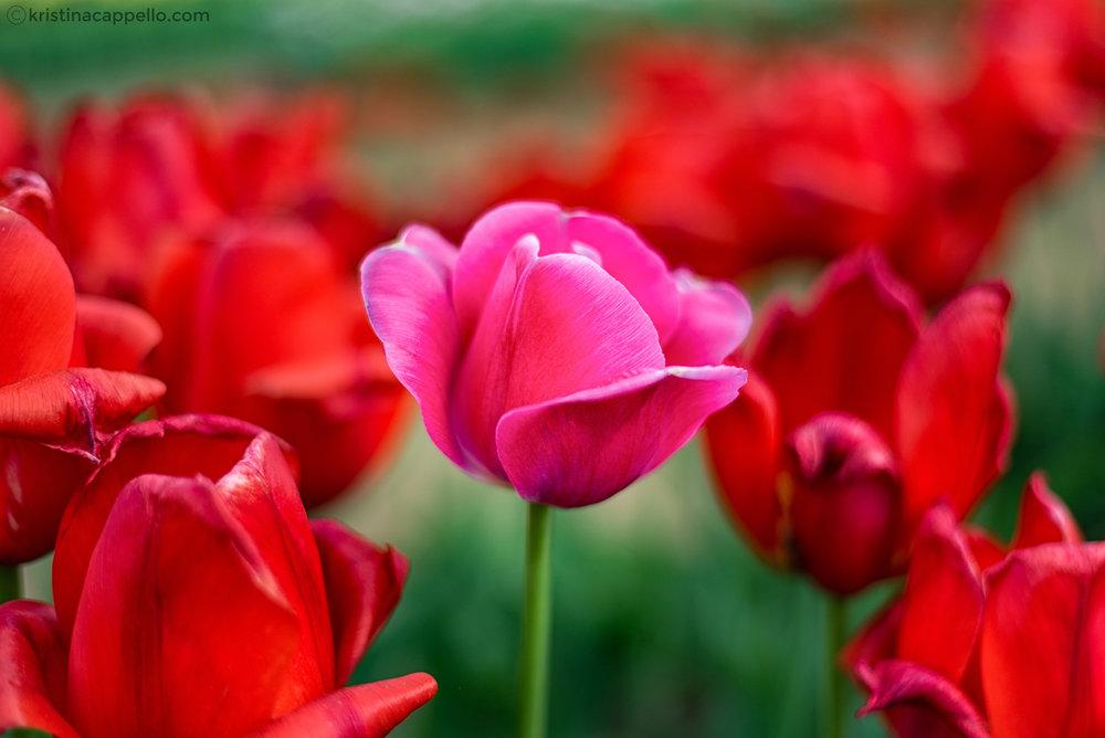 Wicked Tulips Farm, Rhode Island