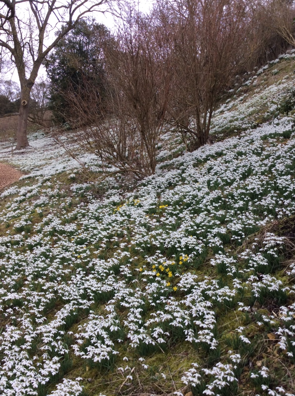 Snow drops 2.JPG