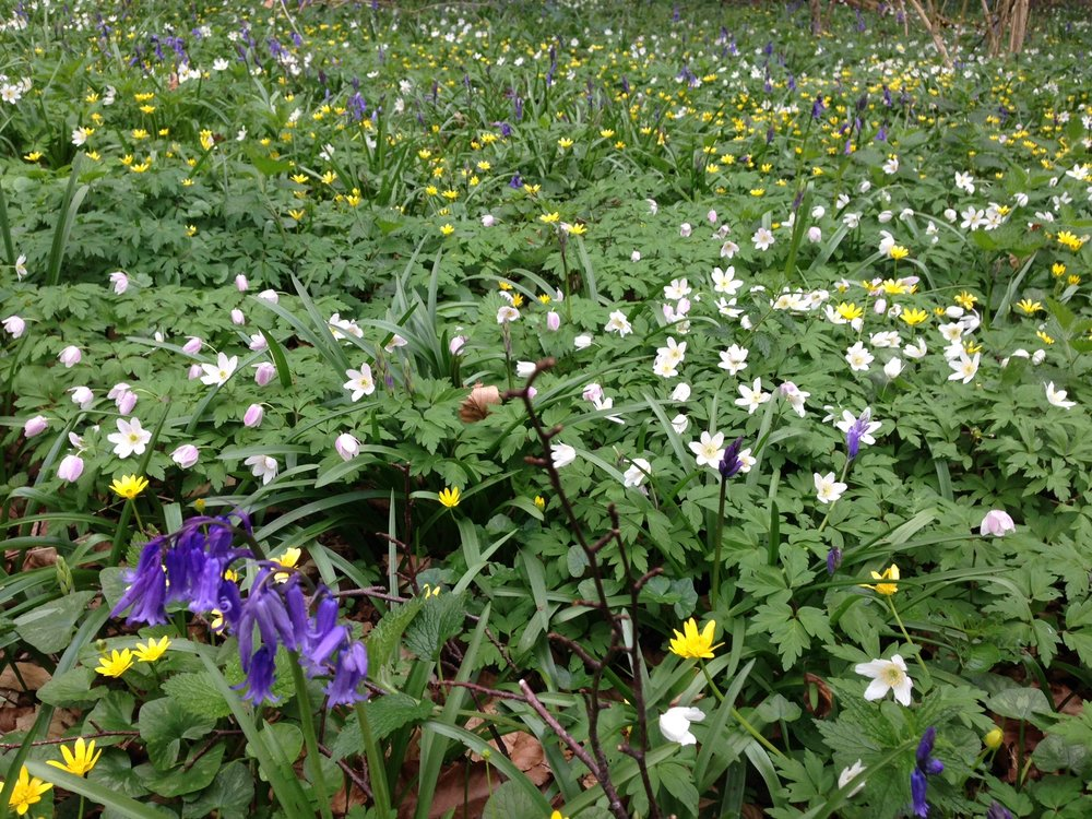 Bluebells and Anemones.JPG