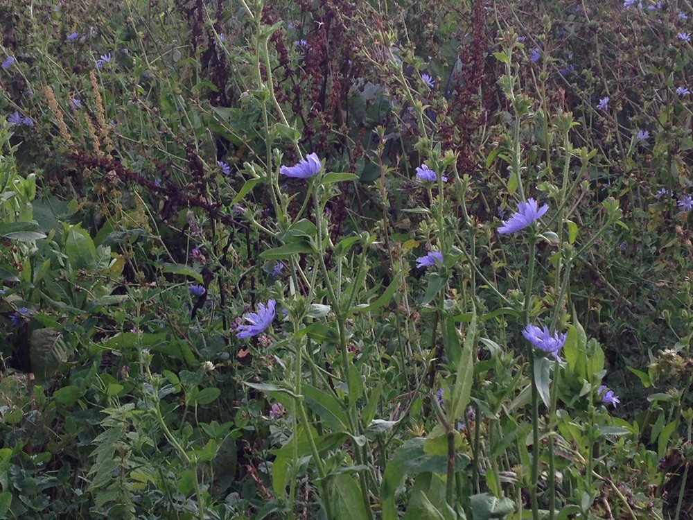 Chicory Field Margin : Nassington