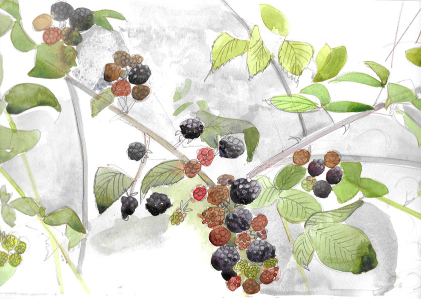 Blackberries. Mixed media study by Jane Hindmarch Oct 2017