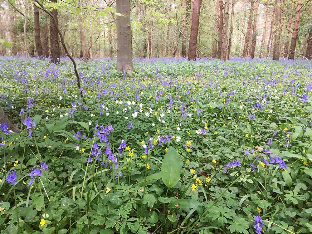 Bluebells As Far As The Eyes Can