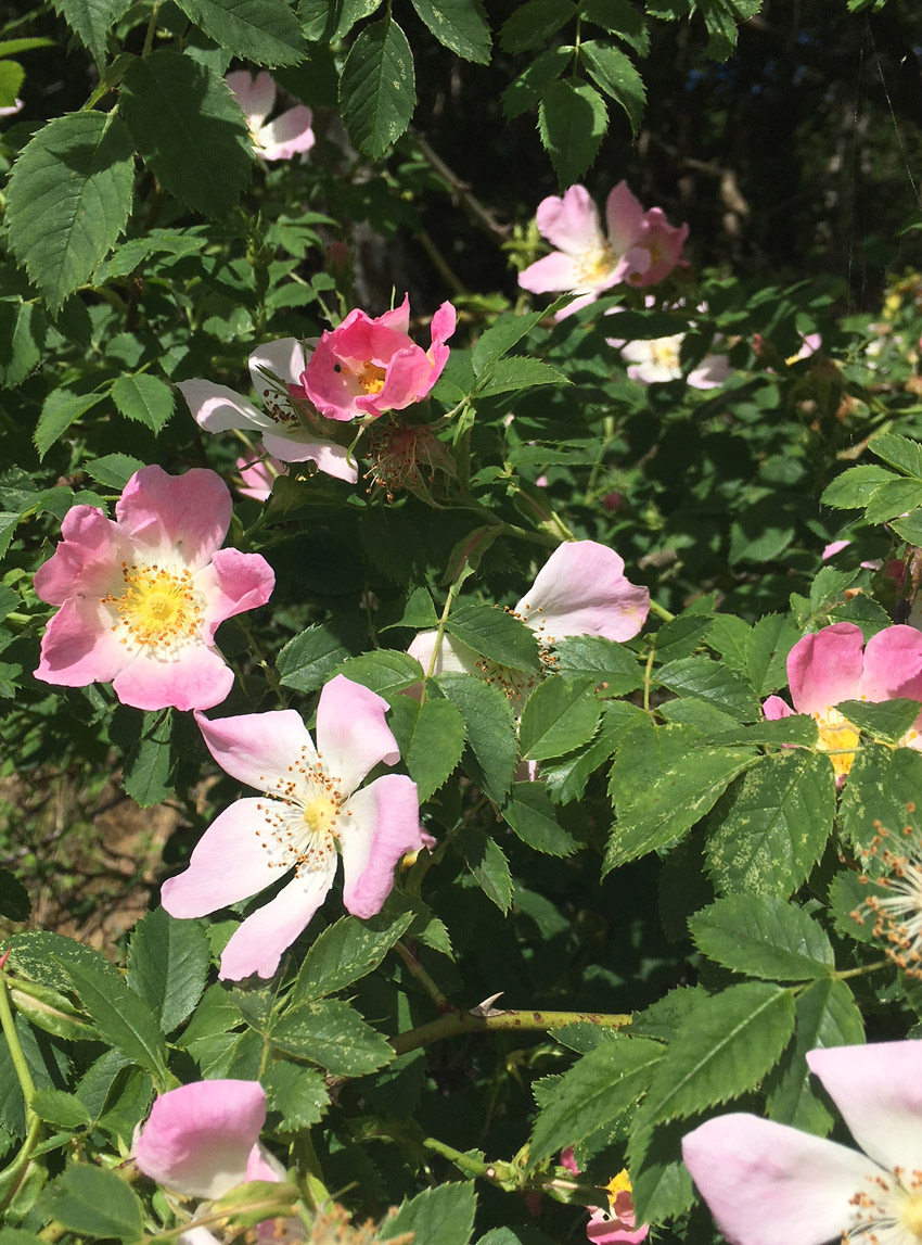 Delicate Dog-roses