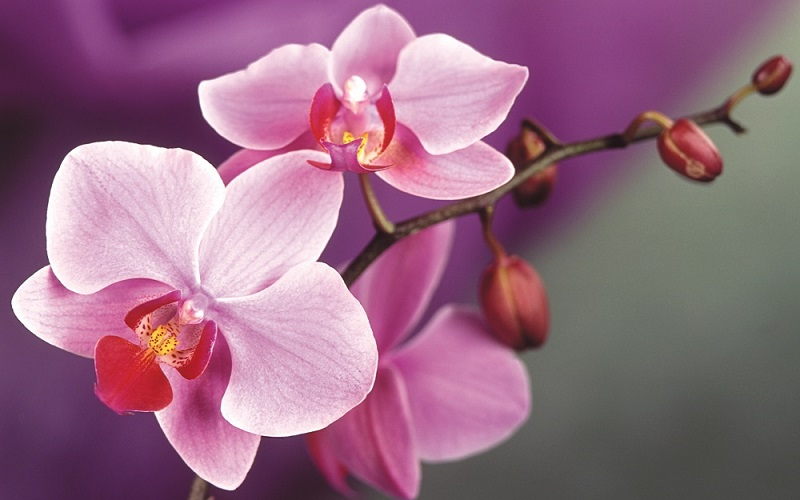 Why Didn't My Orchid Flower? — Lenah Valley Garden Club