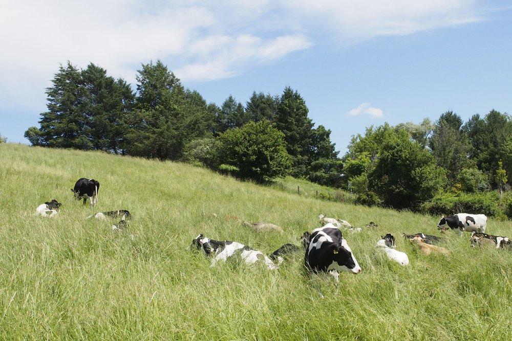 uconn-cows.jpg