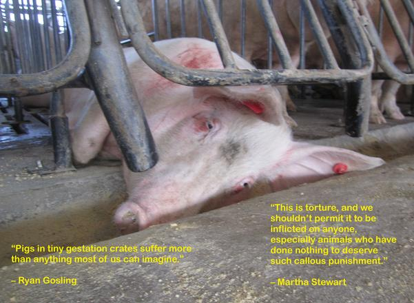 Photo courtesy Humane Society of the United States; Text added by Compassion for Farm Animals