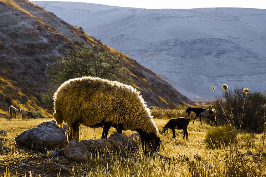 sheep 72 rita left.jpg