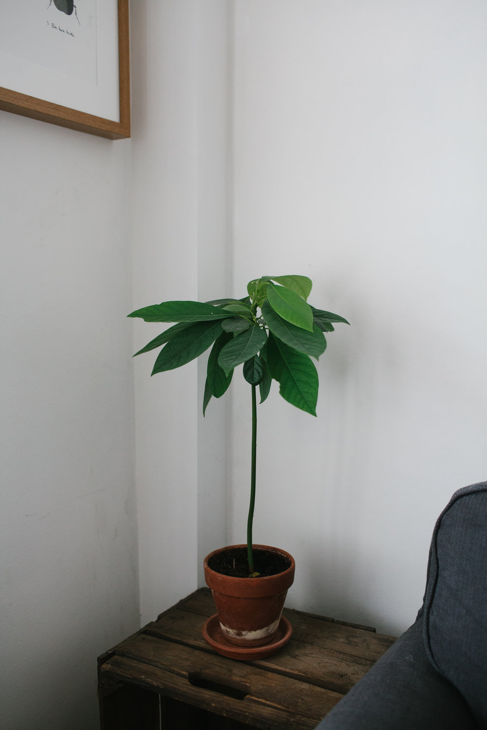 how to grow an avocado tree from a seed bless the weather. Black Bedroom Furniture Sets. Home Design Ideas