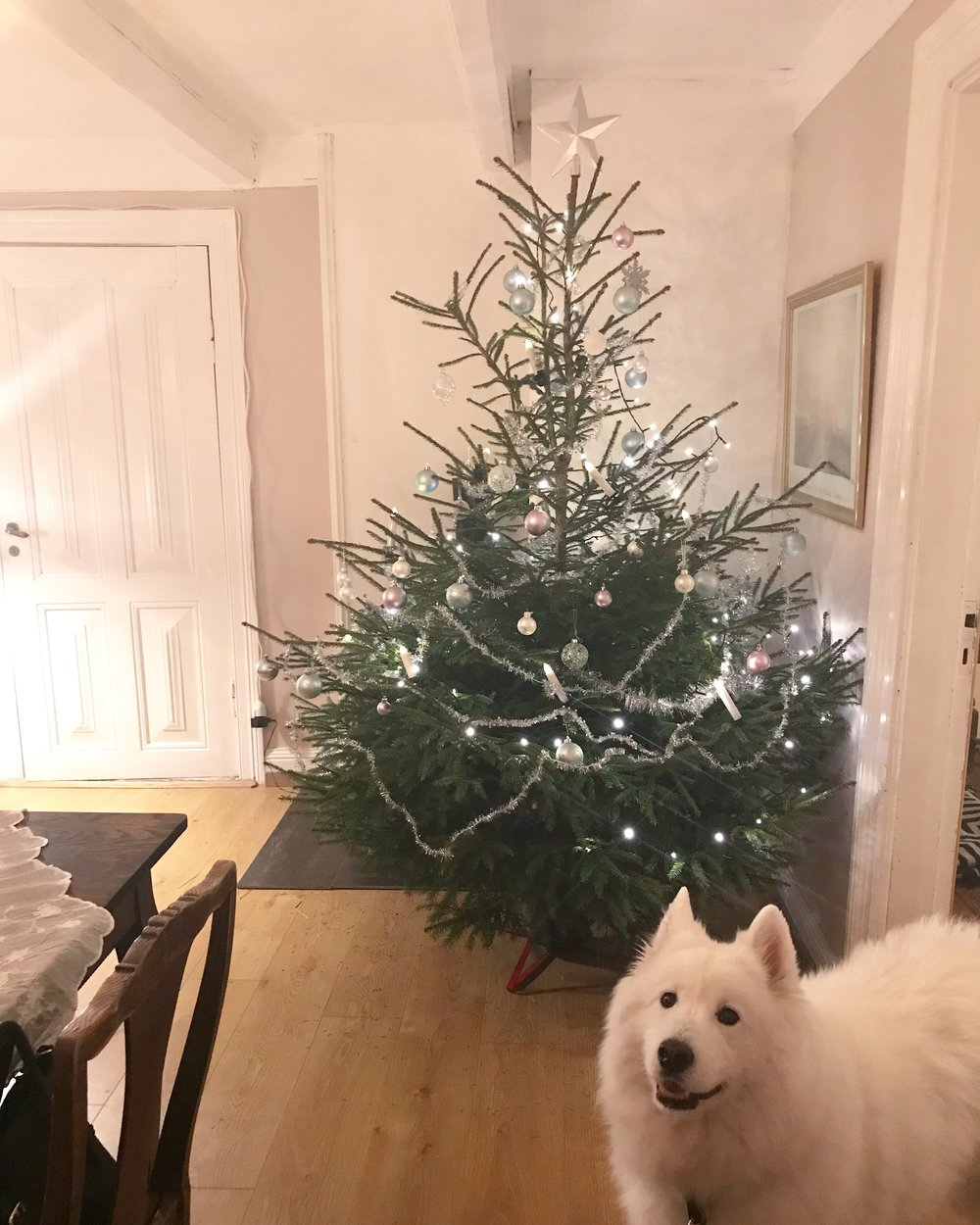 My samoyed Kit looking forward to a new sustainable Christmas