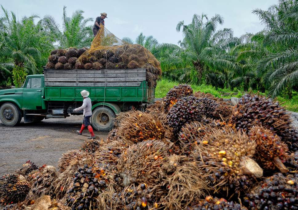 Palm oil plantation harvesting