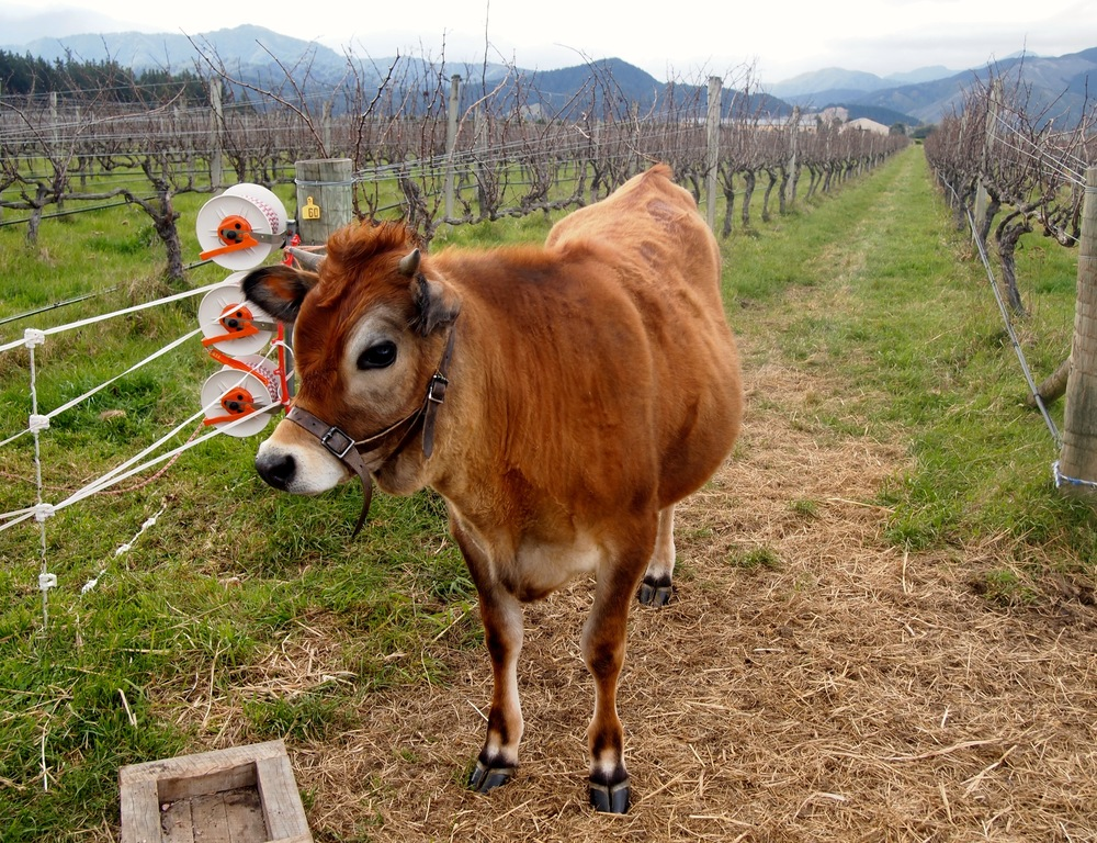 Cool vineyard cow at Seresin. Marlborough, NZ.