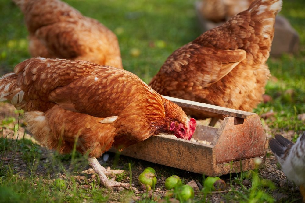 Chickens-eating-grain-on-pasture.jpg