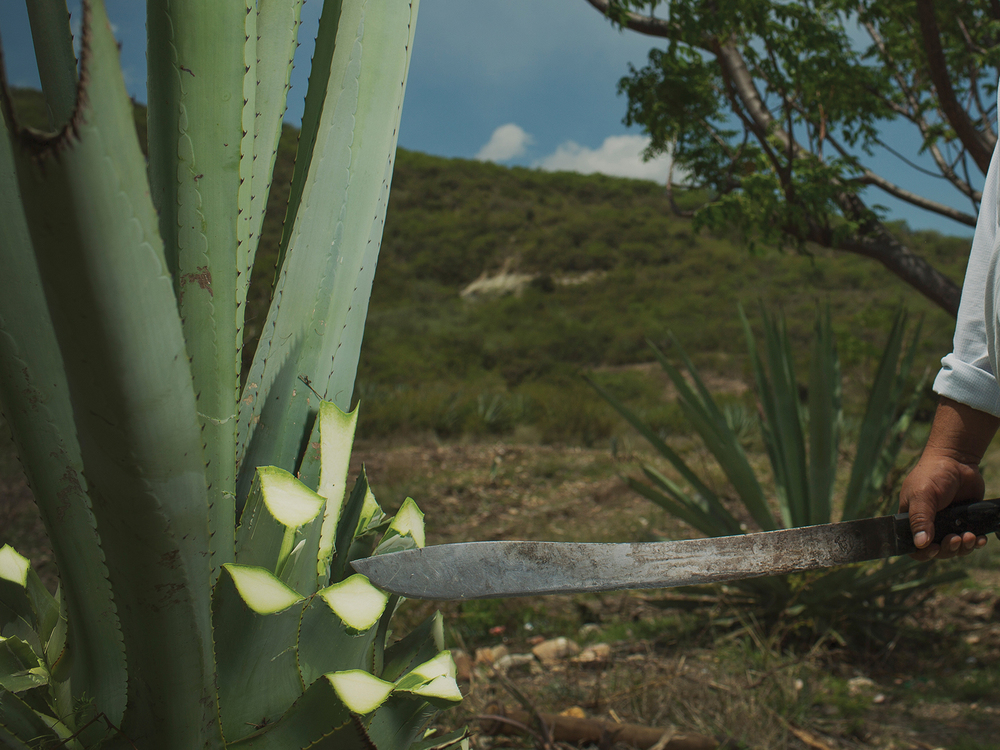 COSECHA Se cortan las hojas del maguey para quedarse con los corazones, también llamados «piñas».