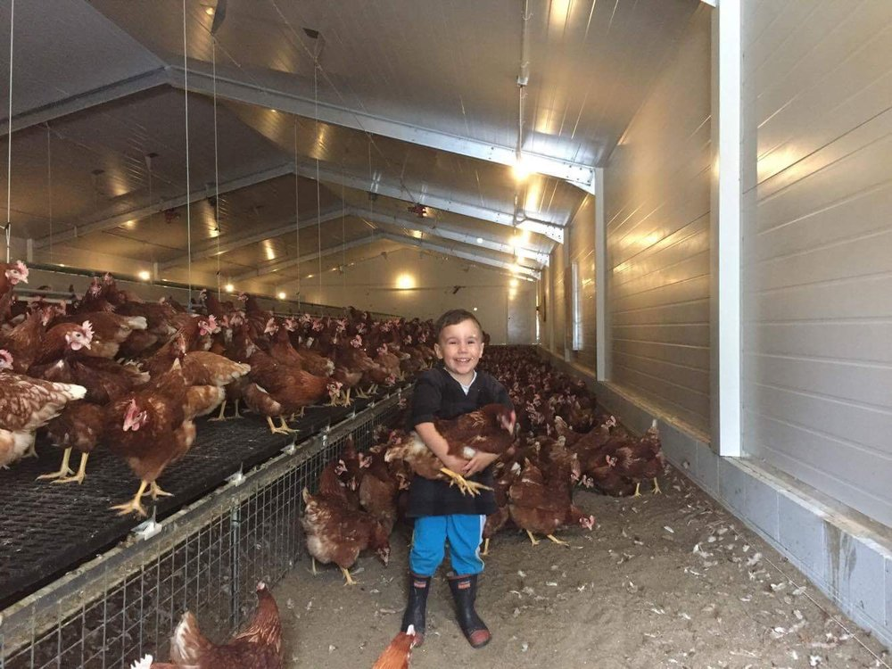 The next generation chicken farmer getting his first 'hands on' experience.....