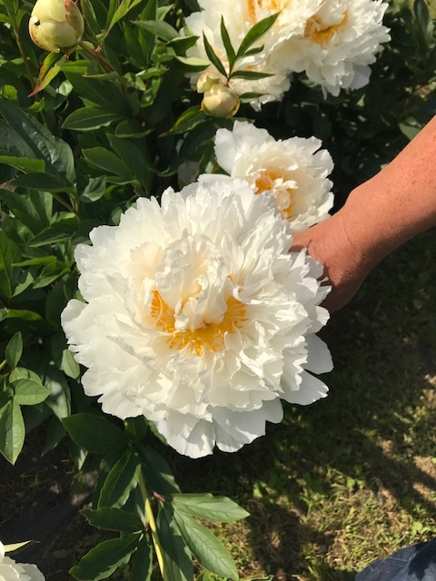 The size of the Alaskan peonies at Scenic Place Peonies was incredible!  Some varieties were three times the size of peonies that grow in the lower 48.