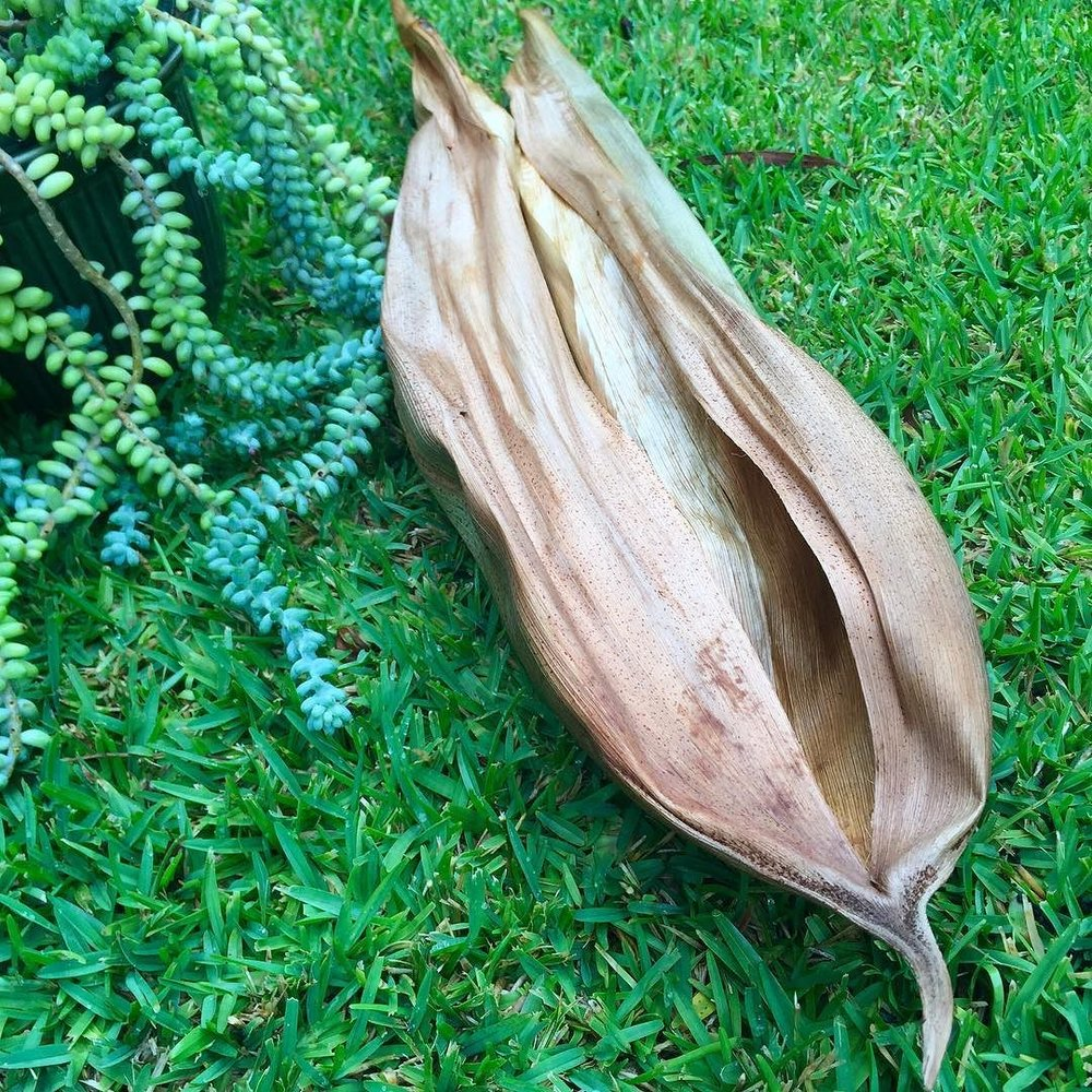 just_found_a_beautiful__bangalowpalmspathe._There_is_a_really_useful_article_by__glenesekeavney_In_the_recent_edition_of__australianbasketry_on__bangalowpalm_nomenclature_and_how_each_part_can_be_used_-_really_useful_if_you_are_into_knowing_more_abou.jpg