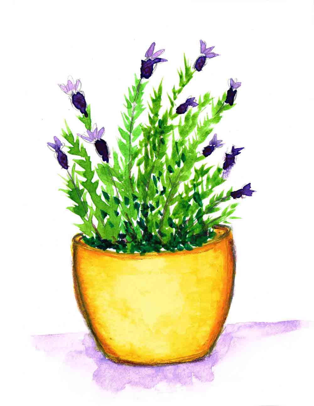 Lavender-Plants-in-pots-no-3-kw.jpg