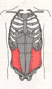 The TvA shown in red, runs around our abdomen in a corset type fashion.