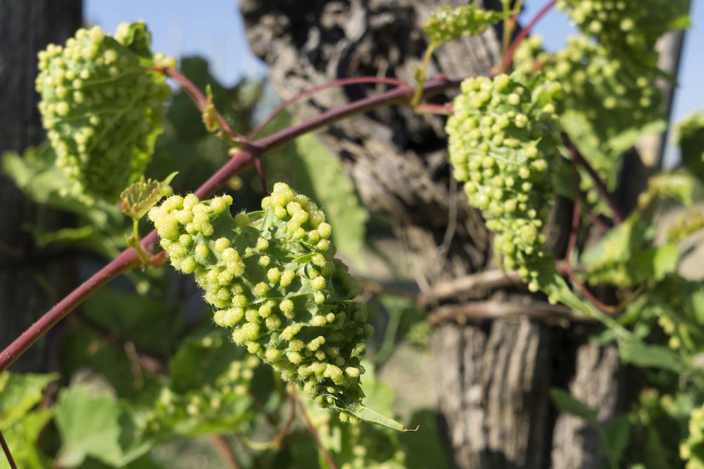 phylloxera-grapes-wtso
