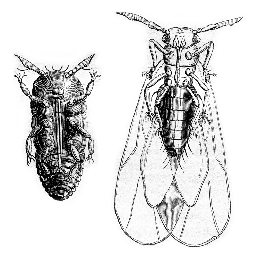 phylloxera-wtso