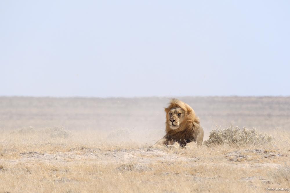 Kalahari Black Mane Lions biggest Lions in Africa, Buy Print