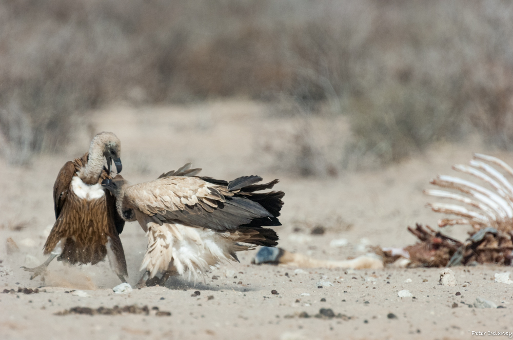 White-backed Vulture fights over rights to carcass