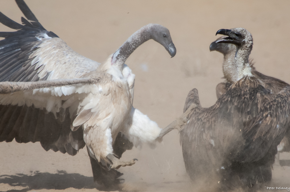 White-backed Vulture fighting