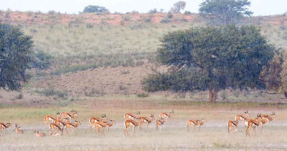 Kalahari Dunes with Springbok standing in rain