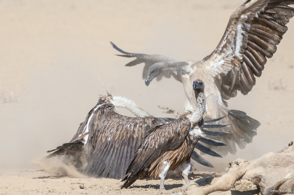 White-backed Vulture Chaos