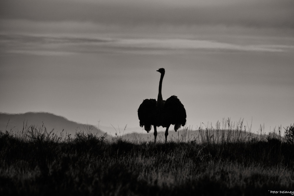 Ostrich and Karoo