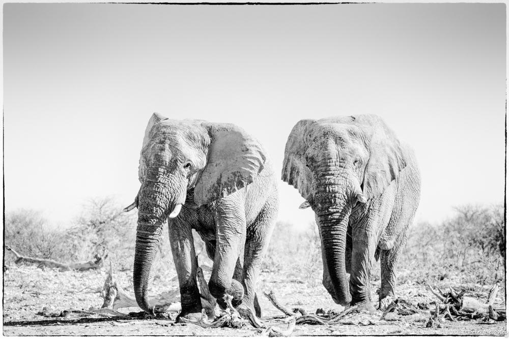 Elephant Brothers in Monochrome, Wildlife art prints for sale