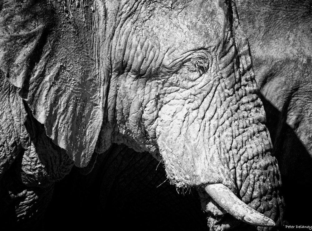 Etosha Bull Elephant