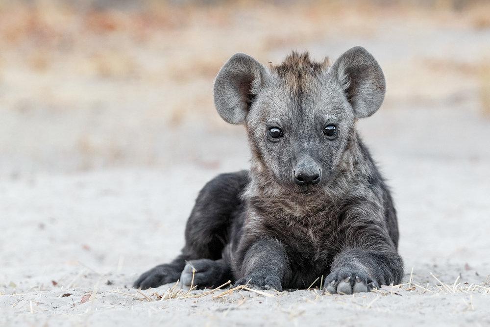 Photo Safari Tour, Hyena pup