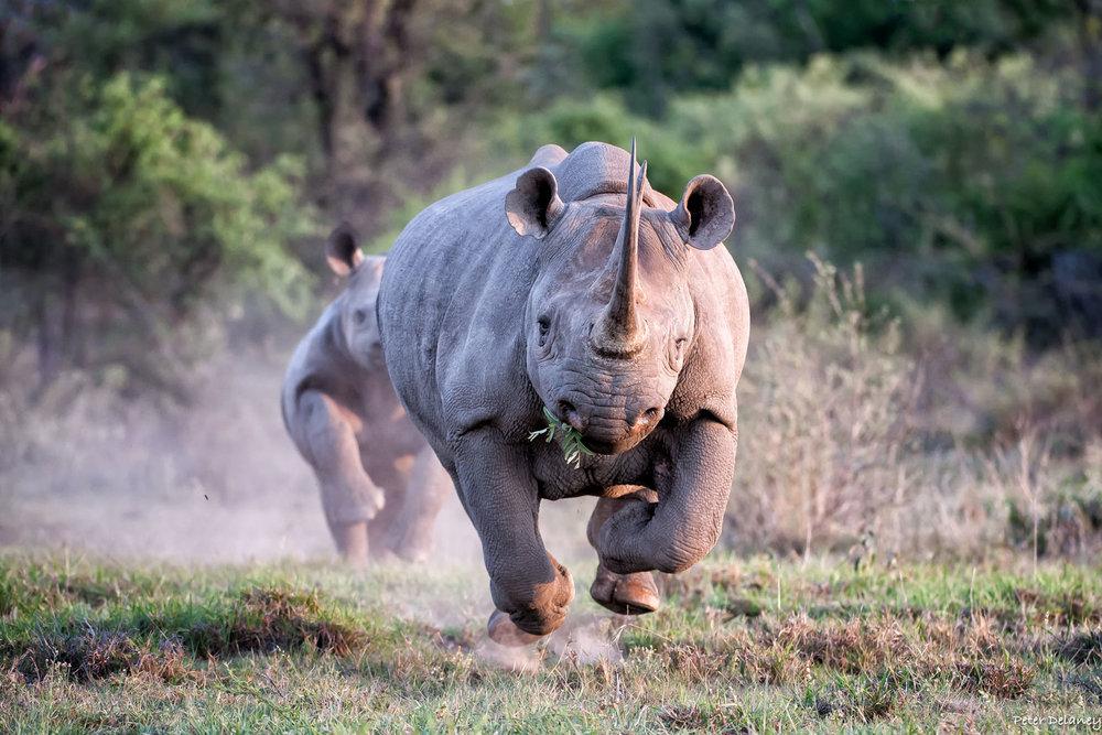 Photo Safari Tour, Black Rhino Charge