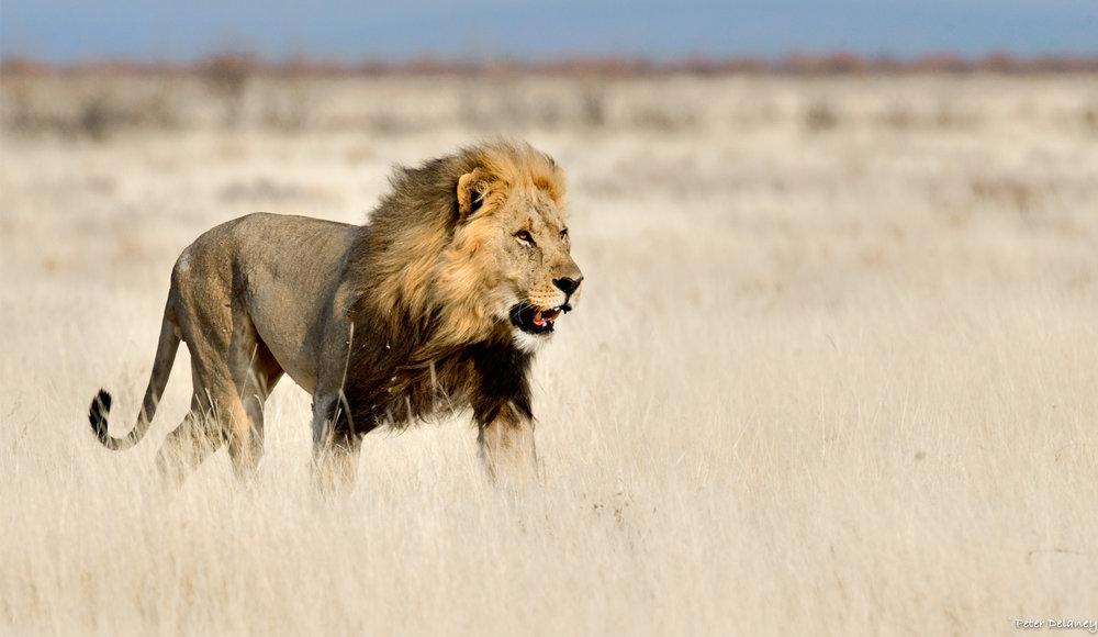 Photo Safari Tour, Kalahari Lion