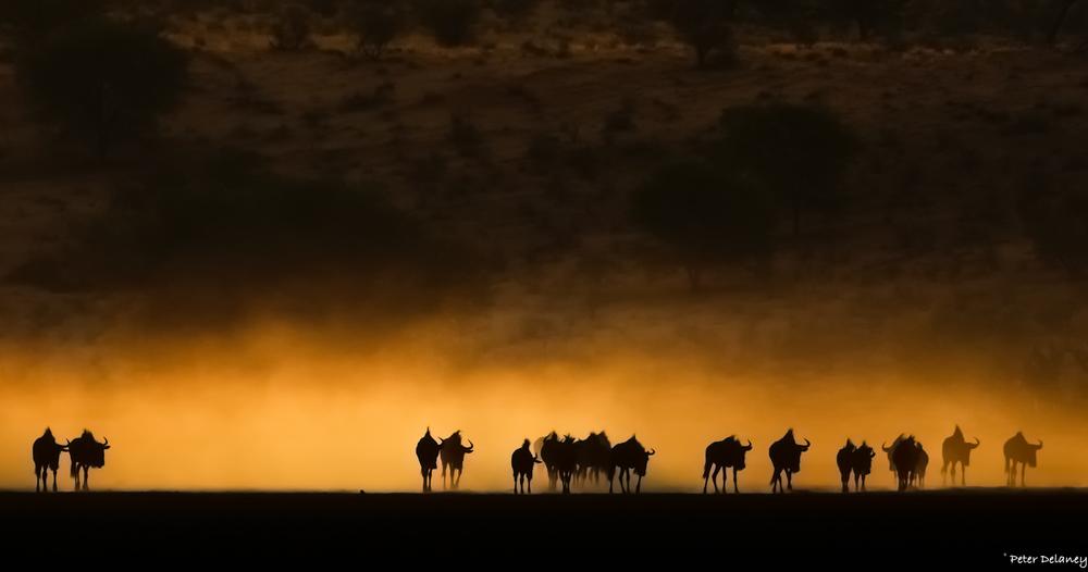 Botswana Photo Tour, Wildebeest Trek