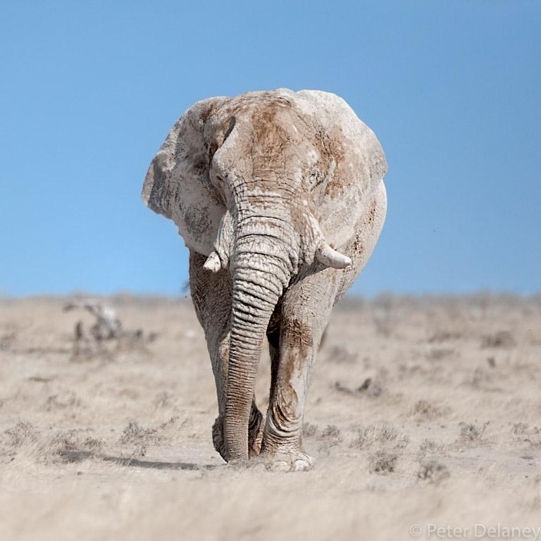 Grey Ghosts of Etosha Series, Bull Elephant dust bathing