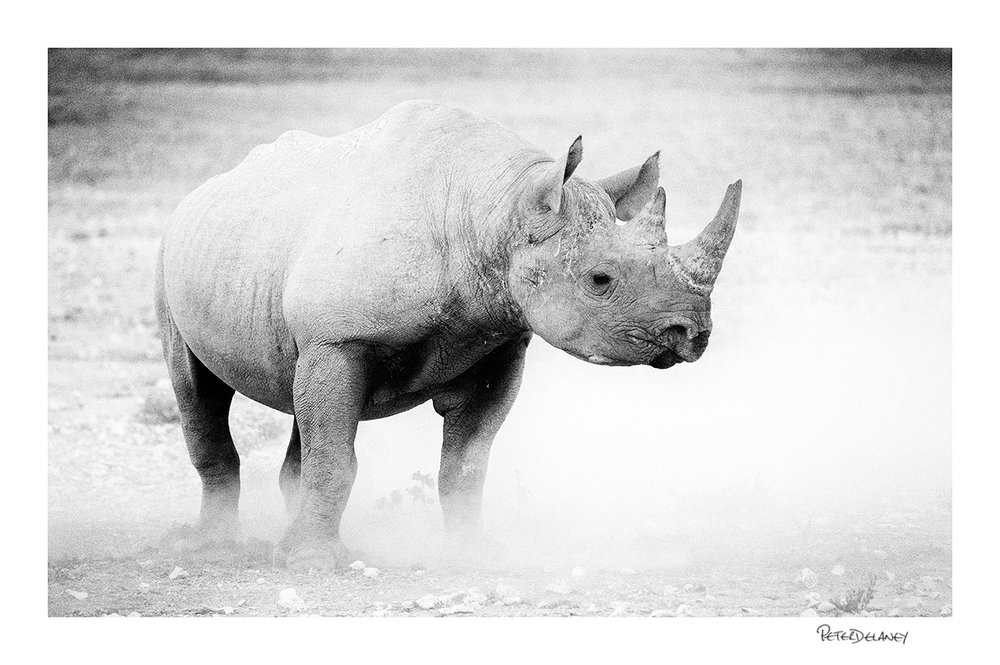 Black Rhino in Monochrome Buy Canvas Prints