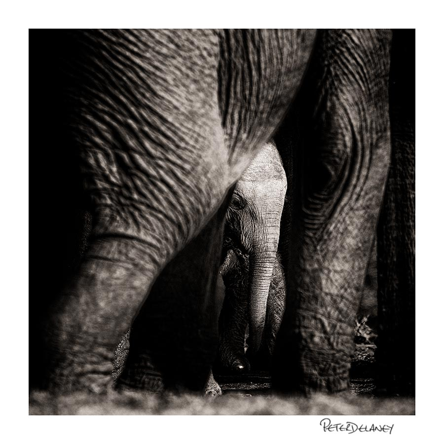 Baby Elephant Peers through mothers legs                         FujiFilm XT-2, 100-400mm rested on beanbag